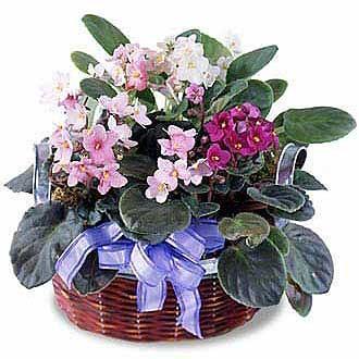 2135 - African Violets