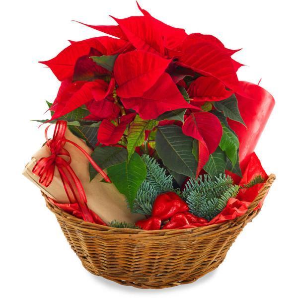 2120 - Poinsettia Plant